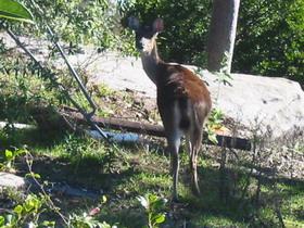Royal National Park Deer