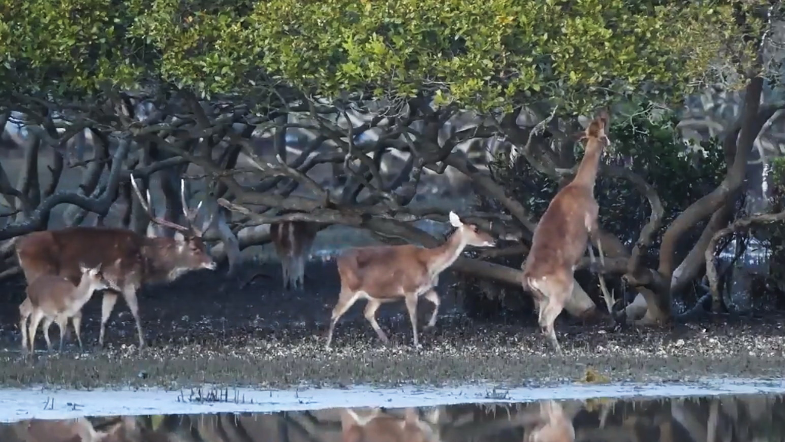 Deer Impact on Royal National Park Mangroves