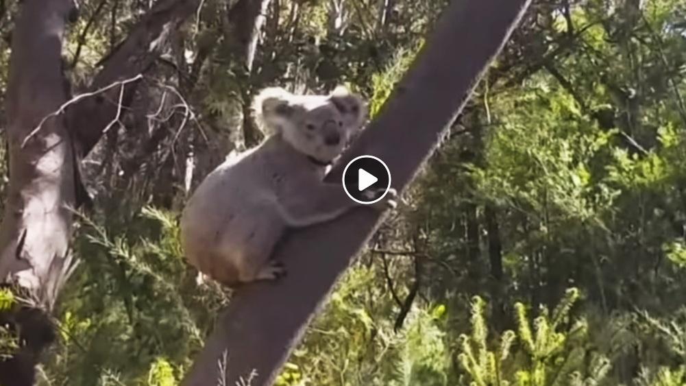 Koala Released in Royal National Park