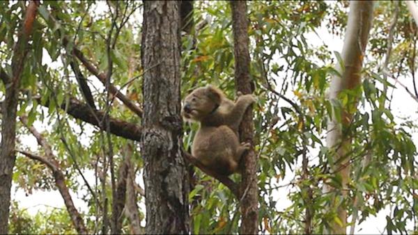 Koala Royal National Park