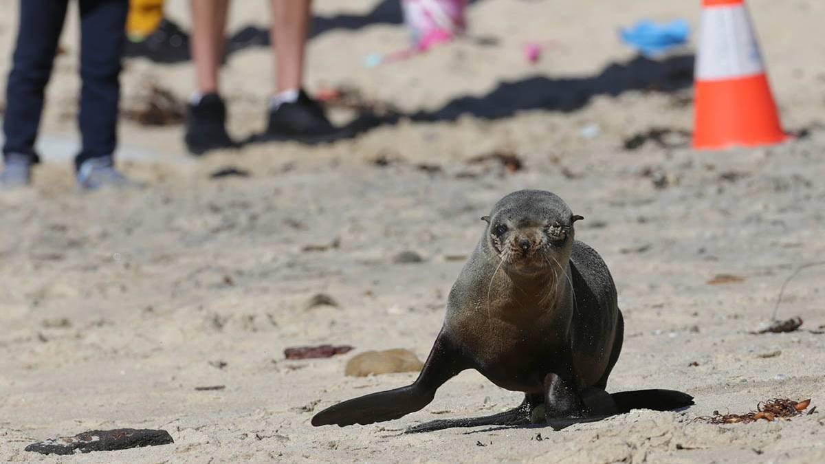 Cronulla Seal Visit